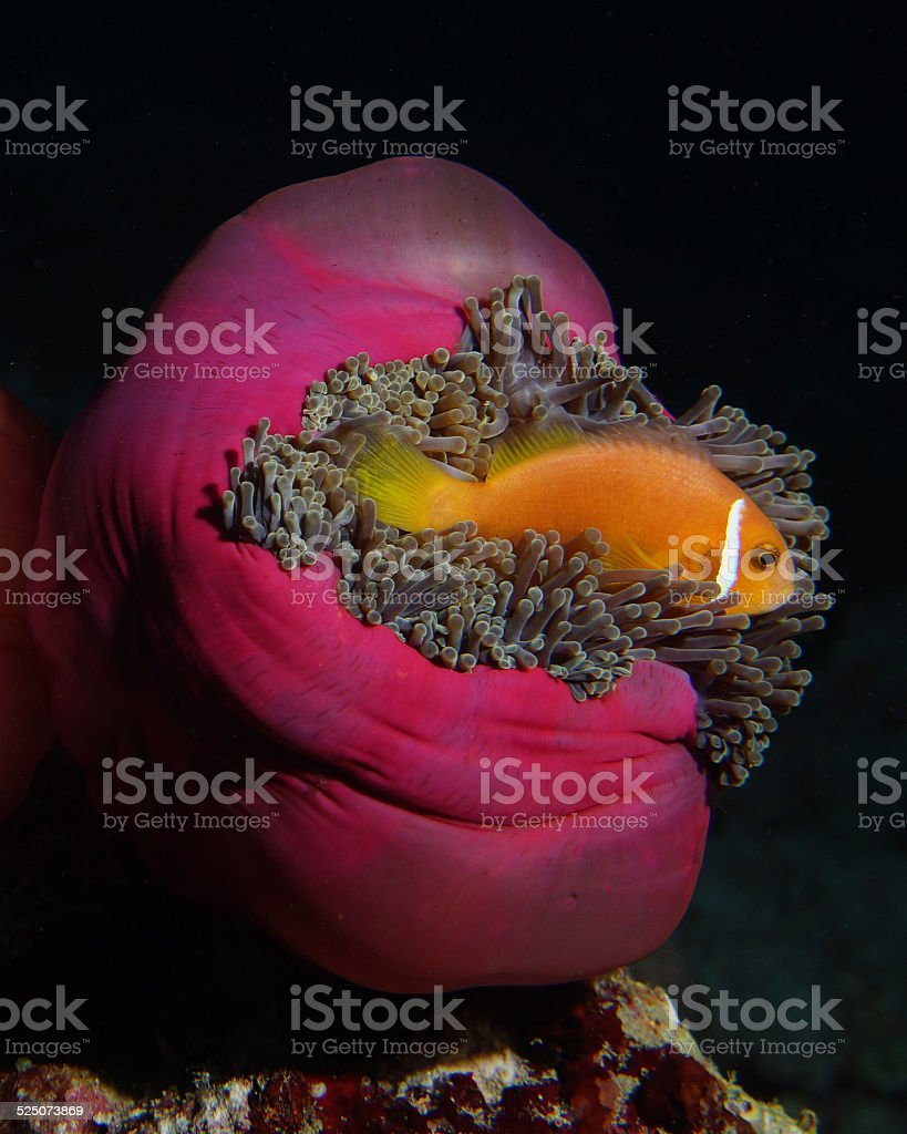 Maldives Anemonefish hides in pink anemone stock photo