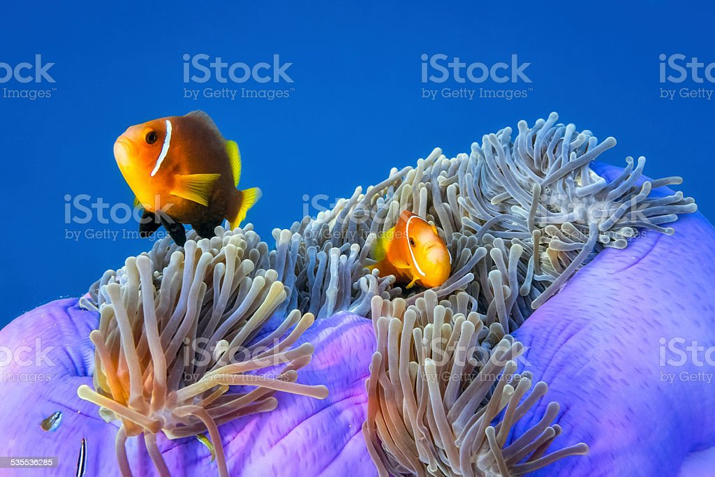 Maldives Anemonefish in an anemone stock photo