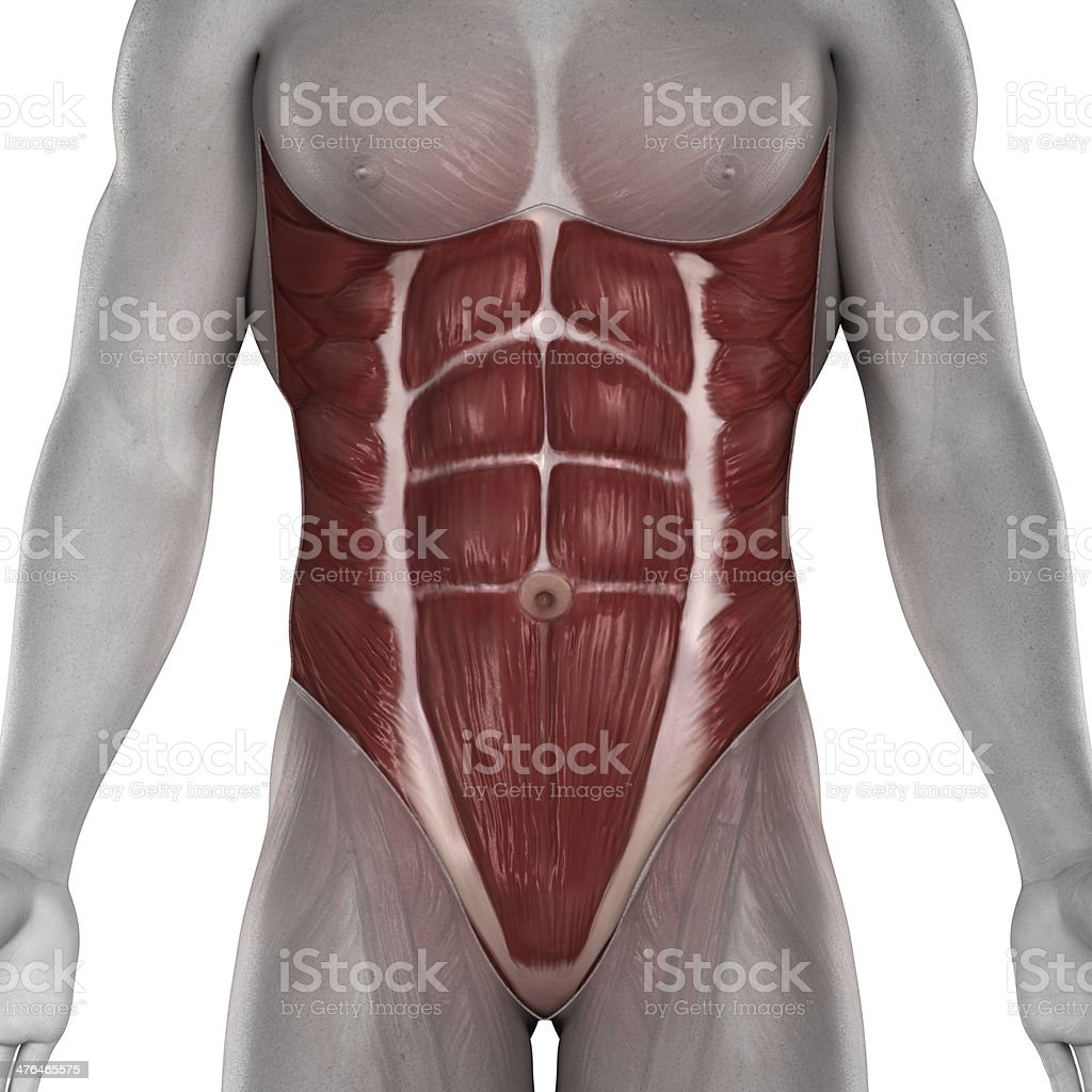 Male Abdomen Muscles Anatomy Stock Photo More Pictures Of