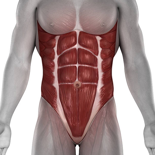 Männliche Bauch Muskeln Anatomie – Foto