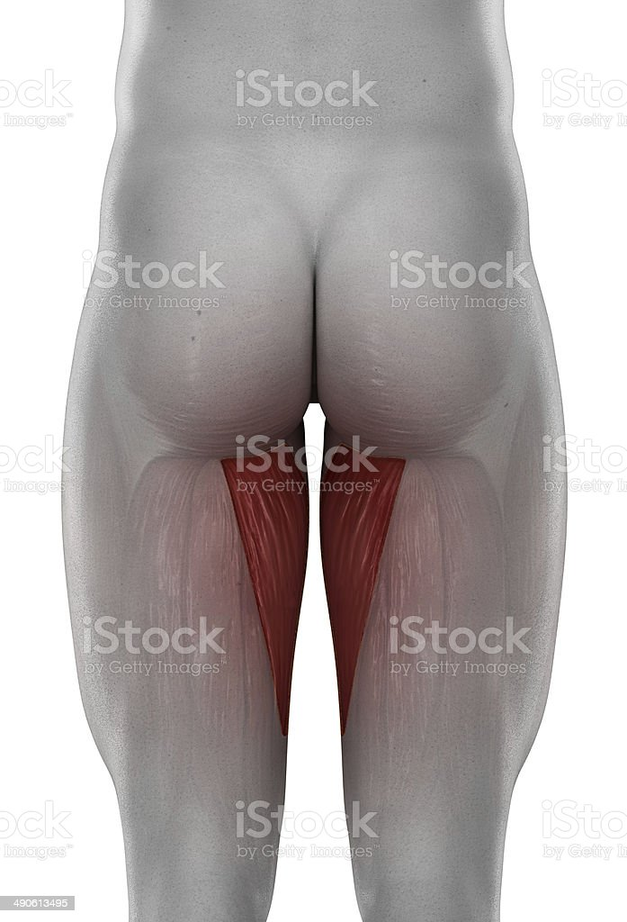 male ADDUCTOR MAGNUS anatomy posterior view isolated stock photo
