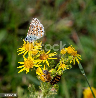 The preferred habitat of this rare butterfly is grassland with hot and dry conditions. This is because the larva feeds on horseshoe vetch (Hippocrepis comosa) which is largely restricted to these habitats. This specimen is feeding on ragwort.