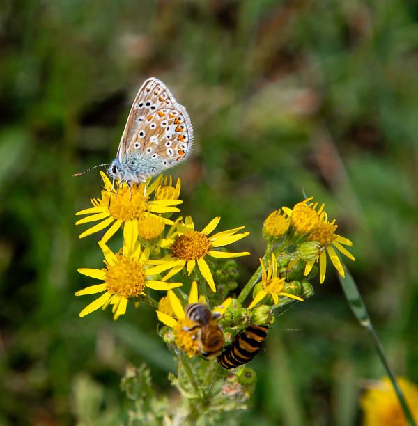Male adonis blue butterfly cinnabar moth caterpillar and bee on picture id1168722445?b=1&k=6&m=1168722445&s=612x612&w=0&h=32kjkud40emlz1ln auhtf027mtpyjjra80scmpm 2i=