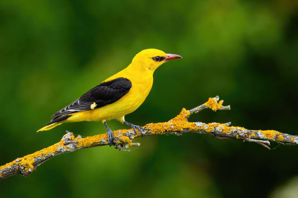 Male adult golden oriole, oriolus oriolus, on a moss covered twig in summer Male adult golden oriole, oriolus oriolus, on a moss covered twig in summer with blurred green background. Vibrant yellow bird sitting in treetop in nature. eurasia stock pictures, royalty-free photos & images