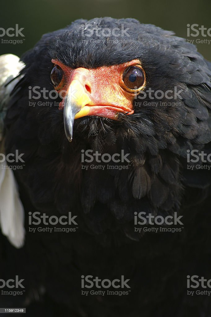 Male African Bateleur Eagle - Bird of Prey stock photo