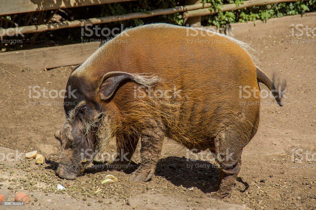 male african bushpig stock photo