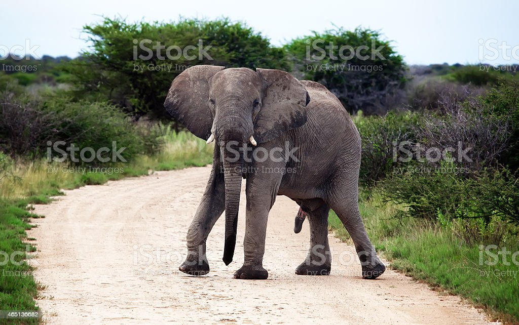 Male african elephant erection. Walking on the road in Namibia stock photo
