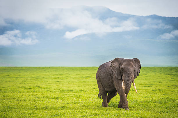 Male African Elephant Walking Alone in African Plain Male African elephant walks alone in grassy Ngorongoro crater on sunny day tusk stock pictures, royalty-free photos & images