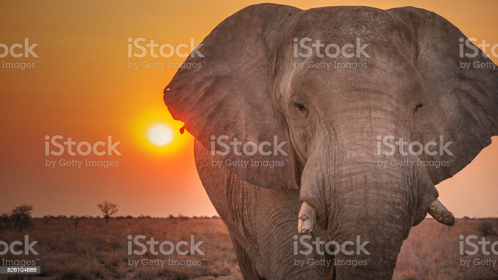 Male African elephant with broken tusks and torn ears looking directly at the camera with sunset in the background. Etosha National Park, Namibia. stock photo