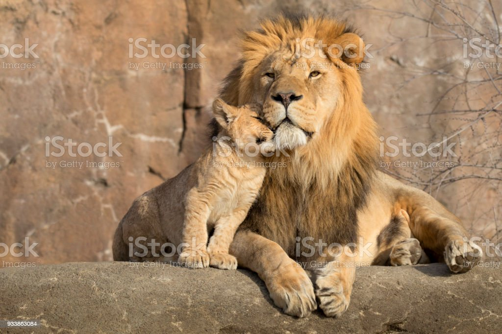 Male African lion is cuddled by his cub during an affectionate moment stock photo