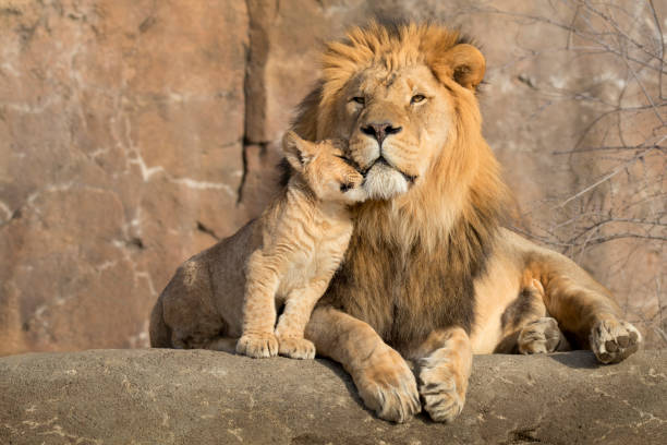 male african lion is cuddled by his cub during an affectionate moment - lion stock photos and pictures