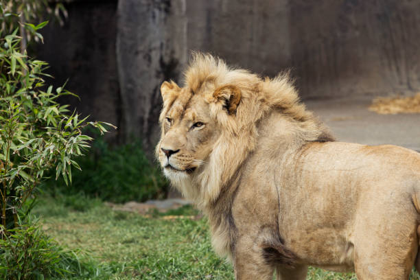 Male African Lion Looking Back