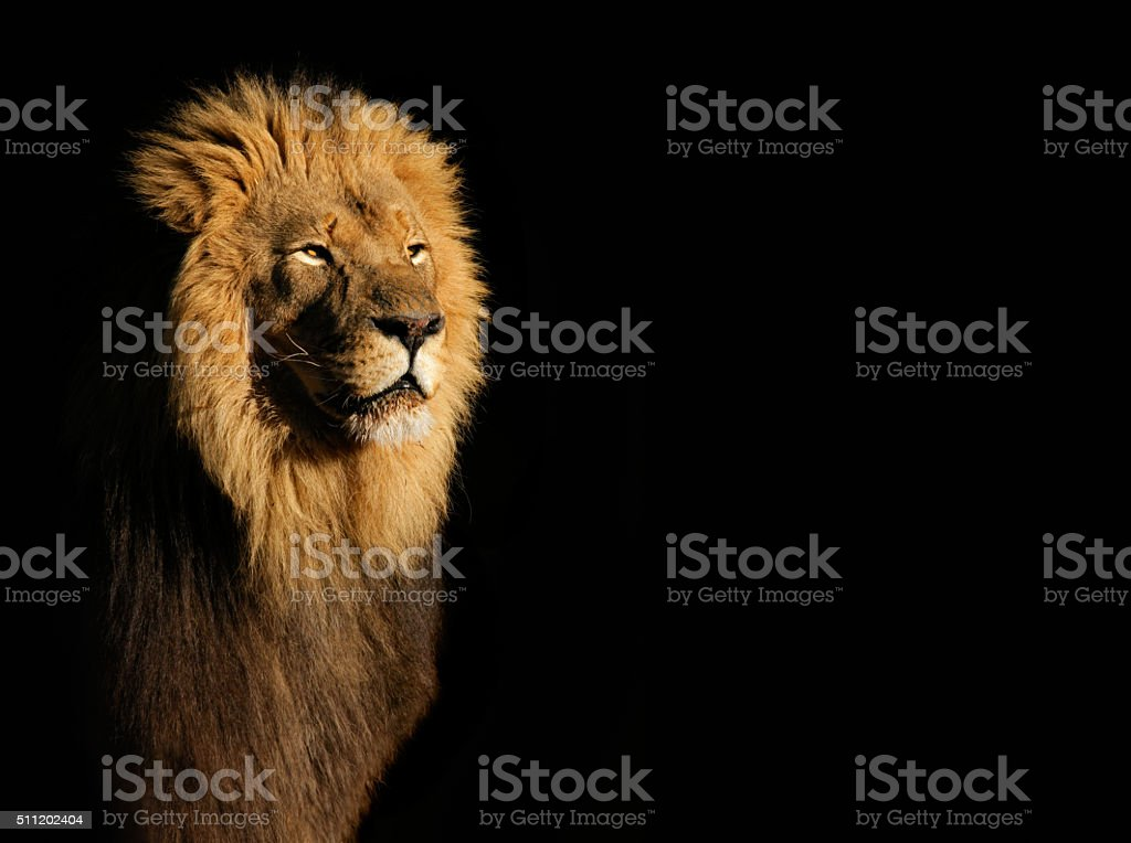 Male African lion on black stock photo
