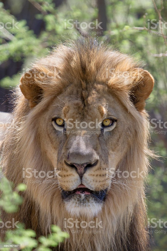 Male African Lion royalty-free stock photo
