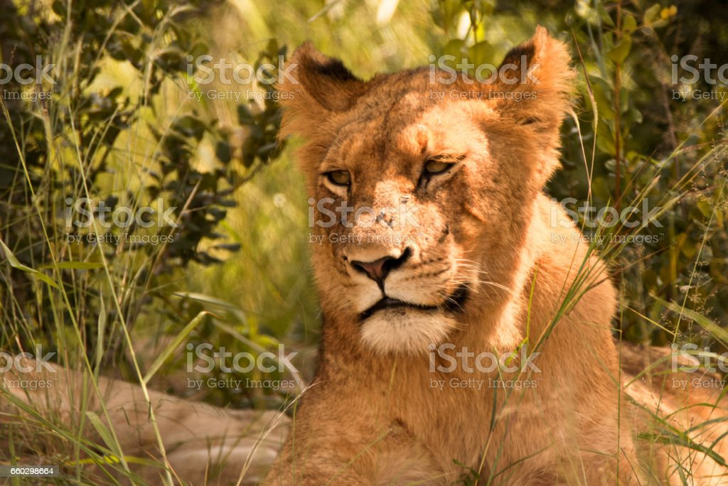 Male African lion sub-adult stock photo