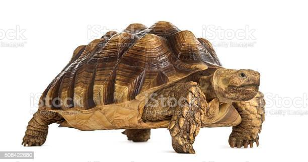 Male african spurred tortoise centrochelys sulcata picture id508422680?b=1&k=6&m=508422680&s=612x612&h=0q1e5idxnw8gdgdg5xrbgvmkdv2mgnxxq9ipp4tedbu=
