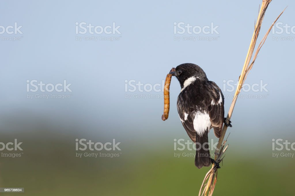 Male African stonechat with large worm - Royalty-free Africa Stock Photo