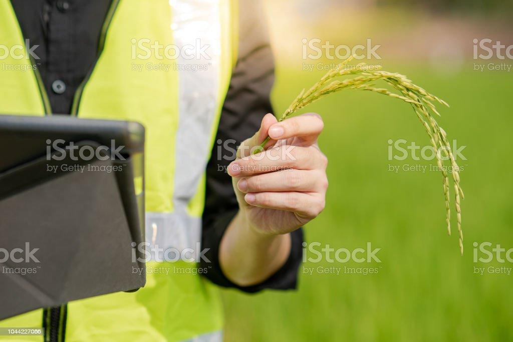 Engenheiro agrônomo masculino mão arroz spike e tablet digital fazendo pesquisa de agronomia no campo de arroz verde. Conceito de tecnologia agrícola - foto de acervo
