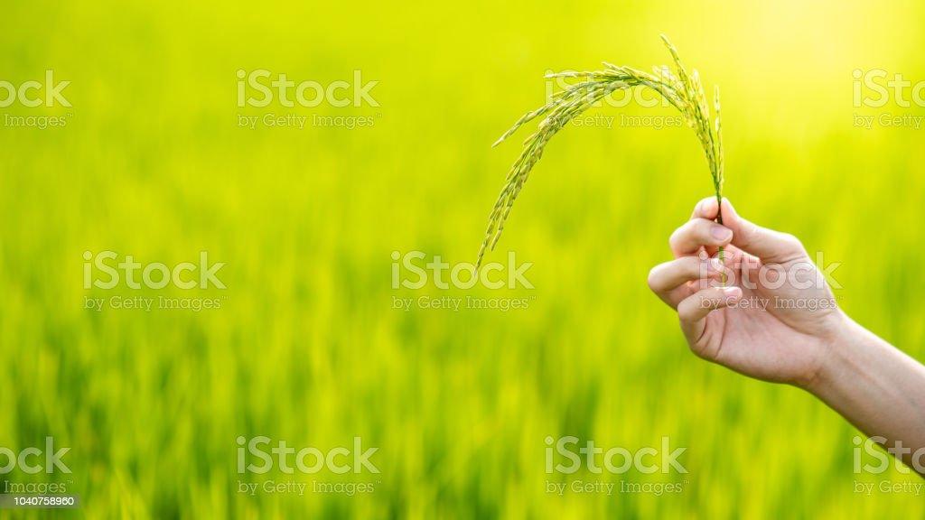 Engenheiro agrônomo masculino mão espiga de arroz no campo de arroz verde. Cultivo de plantas de cereais. Conceito de agricultura, natureza e comida - foto de acervo