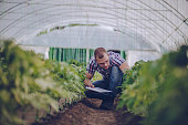 Agronomist examining an agricultural lettuce field