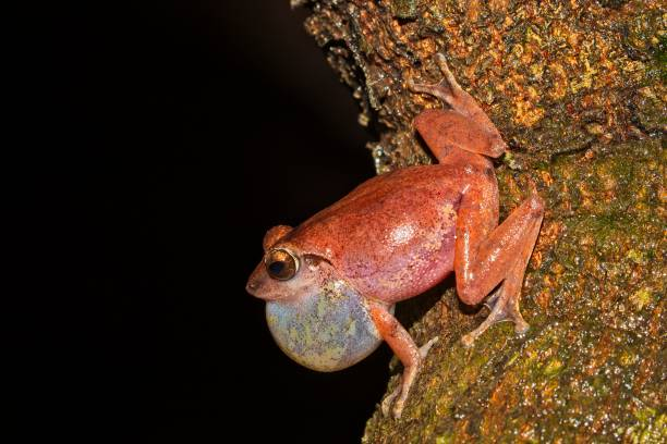 male amboli bush frog at goa calling/croaking  for mates with bloated vocal sac. - croak stock pictures, royalty-free photos & images