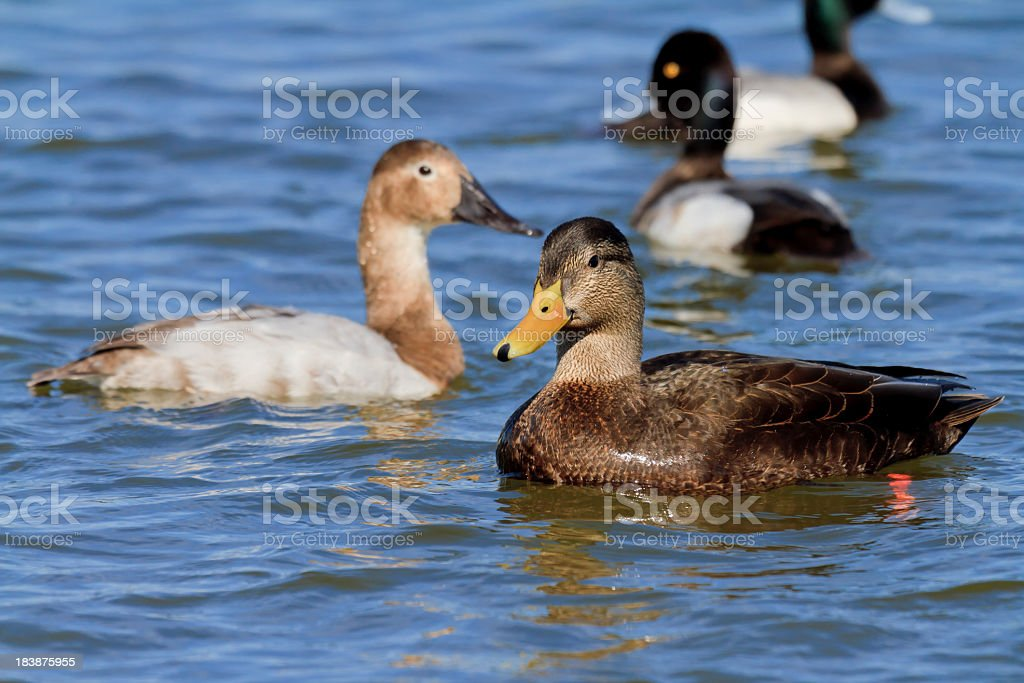 Male American Black Duck (Anas rubripes) stock photo