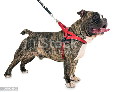 male american bully in front of white background