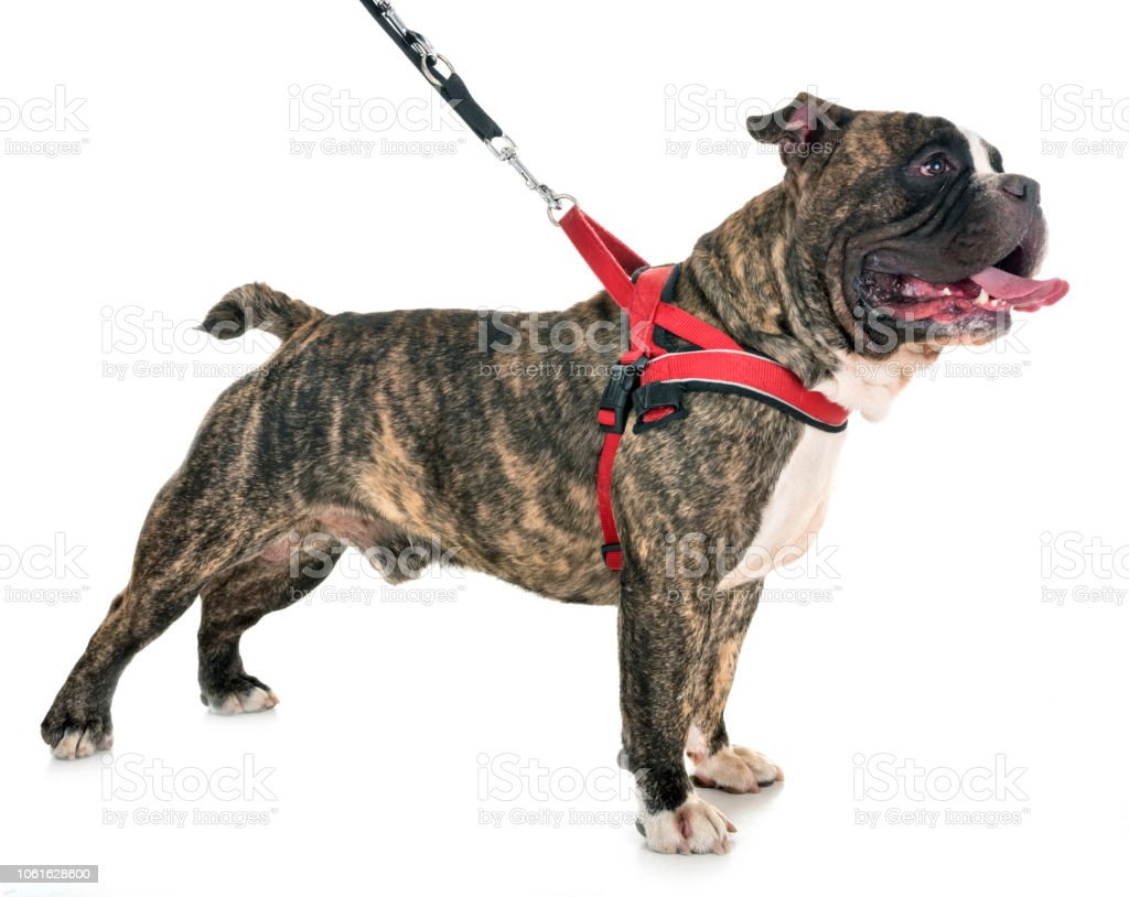male american bully stock photo