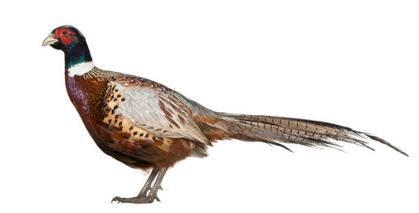 Male American Common Pheasant, Phasianus colchicus, standing in front of white background stock photo