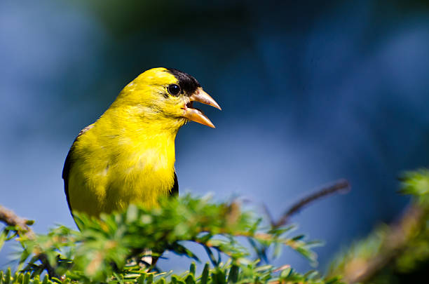 Male American Goldfinch Singing in the Sunshine Male American Goldfinch Singing in the Sunshine american goldfinch stock pictures, royalty-free photos & images