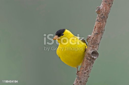 Male American Goldfinch, Spinus tristis