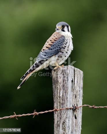 A male American Kestrel (Falco sparverius) perches on a fence post in southern Chile. This species is remarkably widespread throughout north and south america. This bird is of the Chilean subspecies 'cinnamominus'