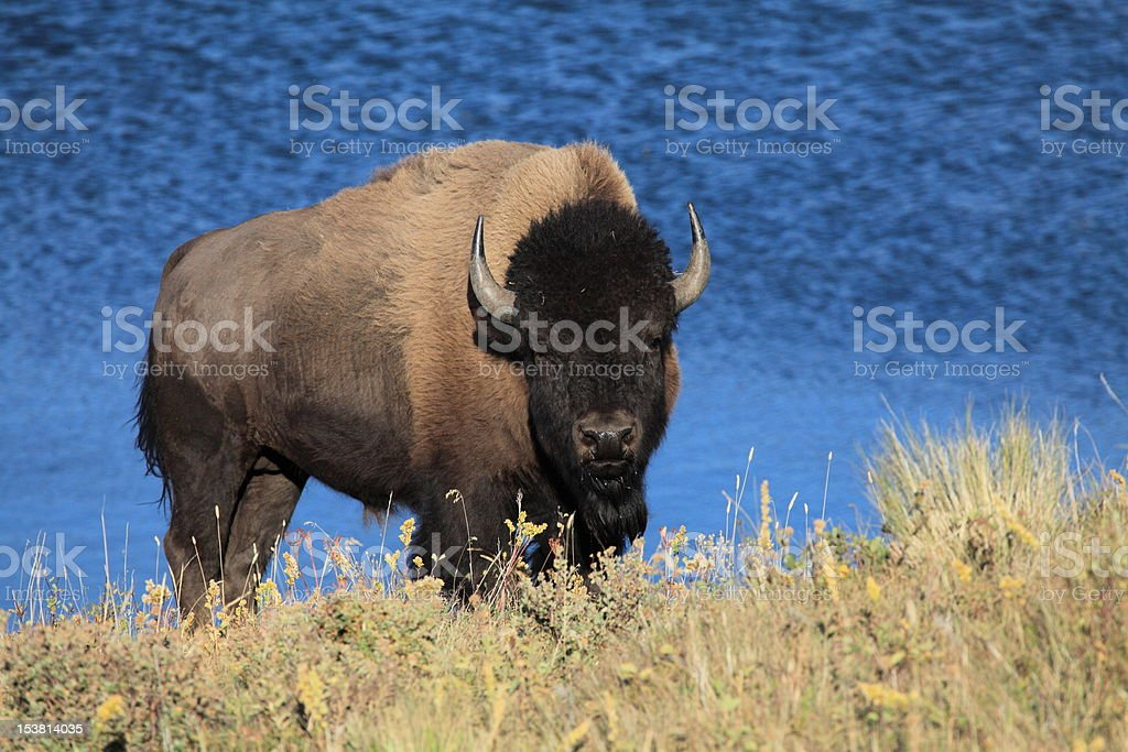 Male American Plains Bison on hillside with lake background. stock photo