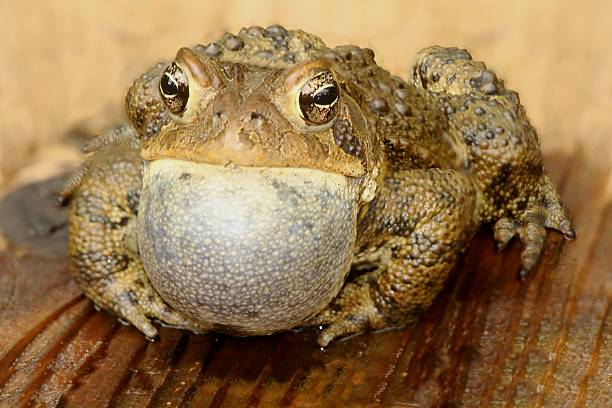 male american toad (bufo americanus) - croak stock pictures, royalty-free photos & images
