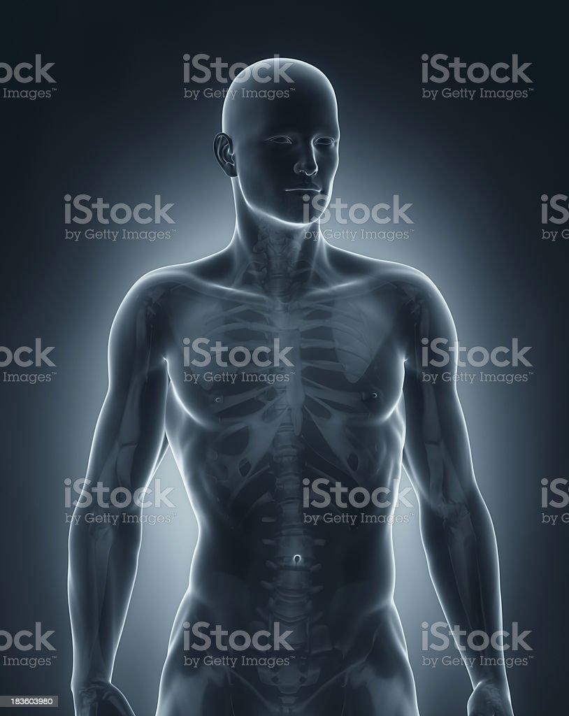 Hombre Anatomía Vista Anterior - Fotografía de stock y más imágenes ...