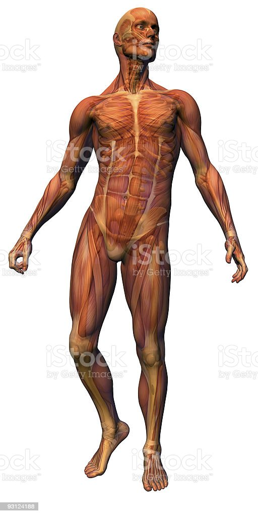 Male Anatomy - Musculature with skeleton royalty-free stock photo