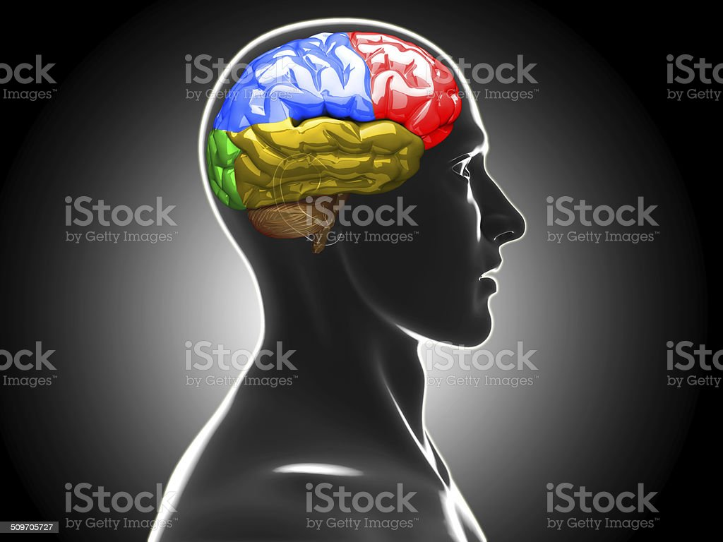 Male Anatomy Of Human Brain Stock Photo & More Pictures of 3D ...