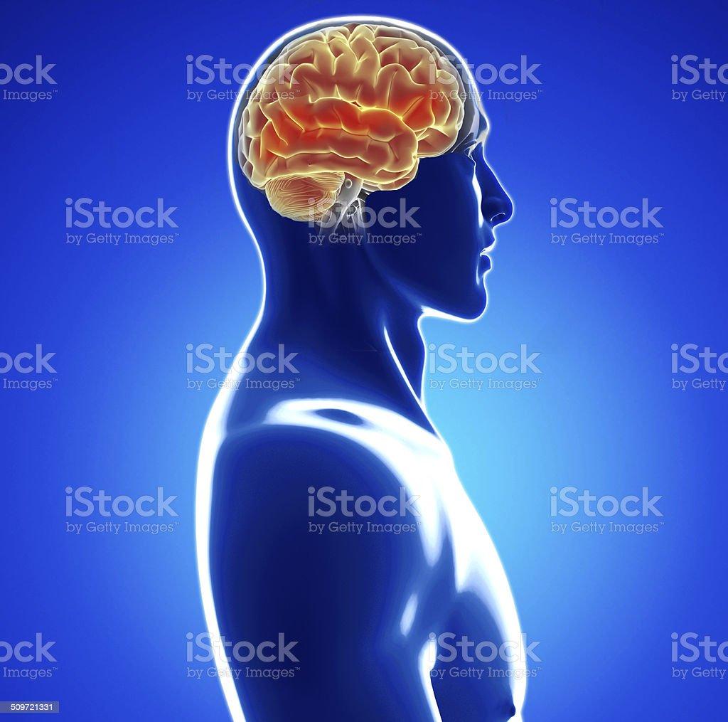 Male anatomy of human brain stock photo