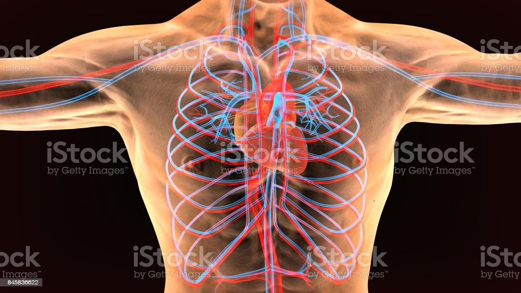 Fotografía de Anatomía Masculina Del Sistema Circulatorio Humano En ...