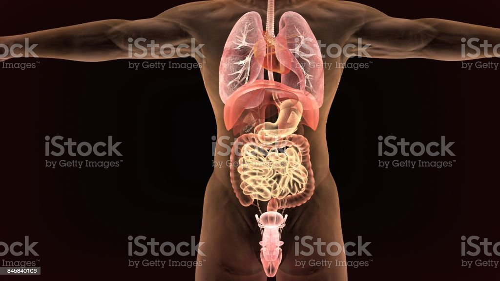 Male Anatomy Of Human Digestive System In Xray 3d Render Stock Photo