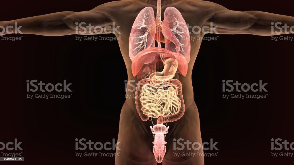 Männliche Anatomie des menschlichen Verdauungssystems im Röntgenbild. 3D render – Foto