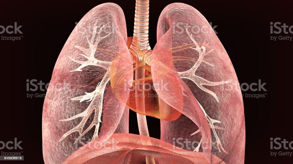 Männliche Anatomie der menschlichen Atemwege im Röntgenbild. 3D render – Foto