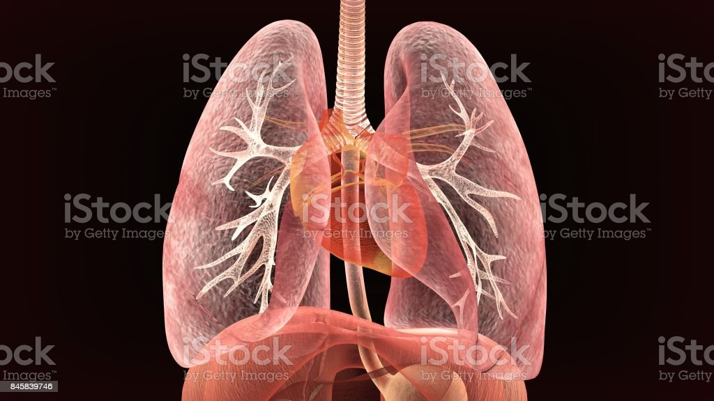 Male anatomy of human respiratory system in x-ray. 3d render stock photo