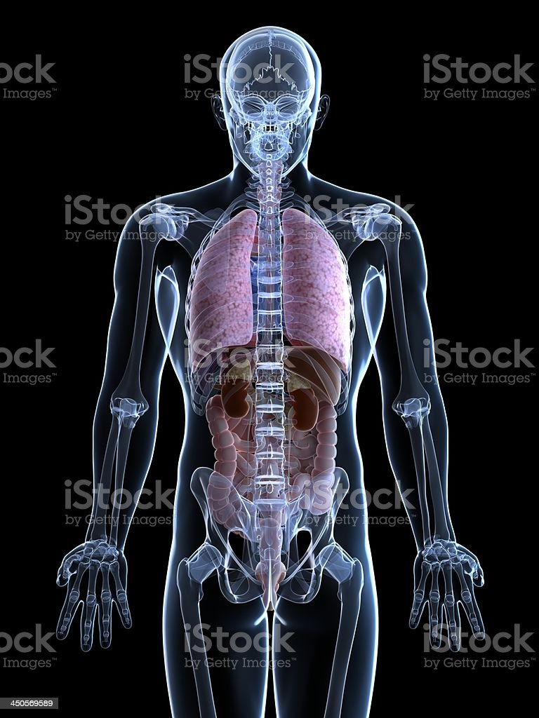 male anatomy royalty-free stock photo