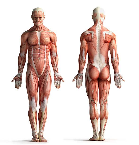 anatomia maschile vista - il corpo umano foto e immagini stock