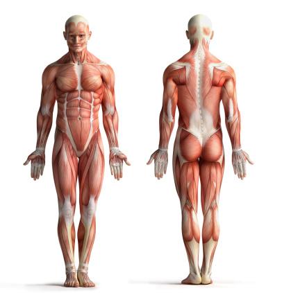 Foto de Masculino Anatomia View e mais fotos de stock de Anatomia