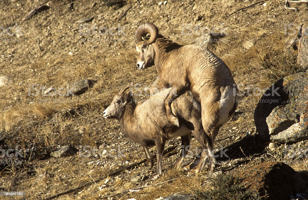Male And Female Bighorn Sheep Mating Stock Photo & More Pictures of ...