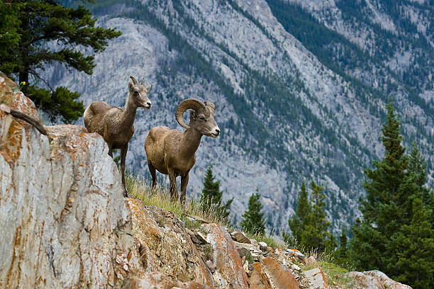 male and female bighorn sheep with tall trees and mountain - banff national park stock photos and pictures