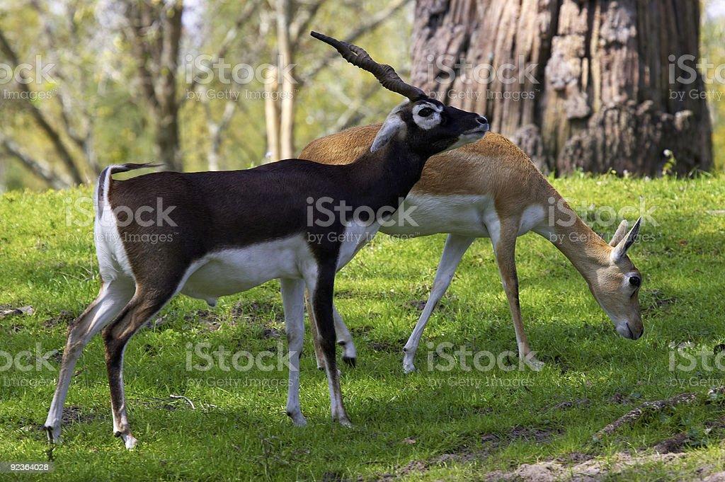 Male and female blackbuck gazelle royalty-free stock photo