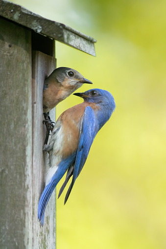 A male and female bluebird inspecting their nesting location in Tobaccoville, NC, United States